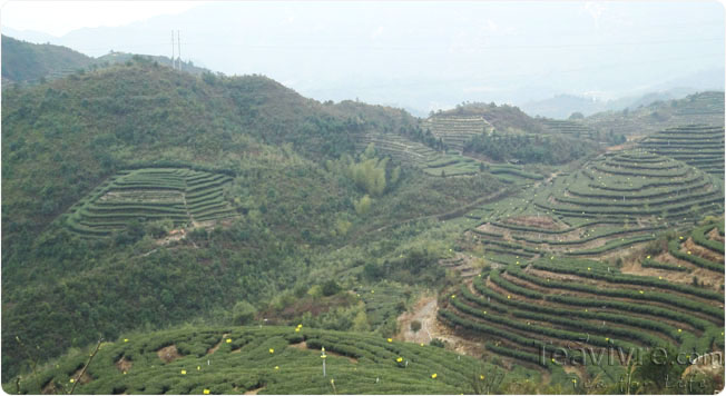 Scenery of Organic tea garden in Fujian Province
