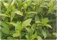 chinese spring green tea 2013