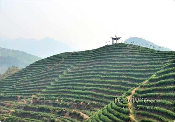 tian mu  tea garden